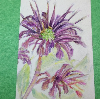 Bee Balm or Monarda watercolor Painting in process