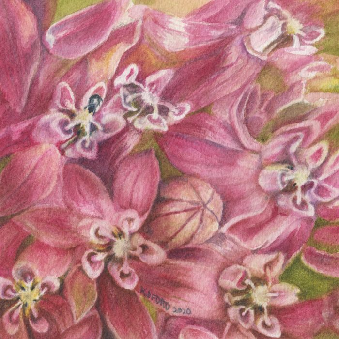 Close up watercolor painting of a milkweed flower
