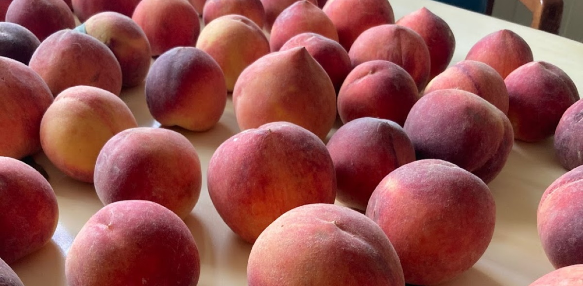Fresh Georgia peaches are laid out on a table to ripen