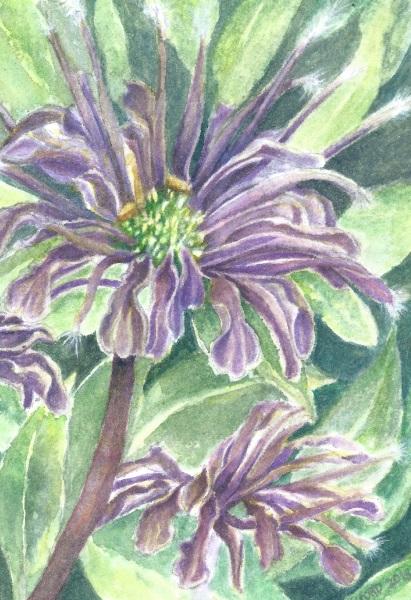 bee balm flower or bergamot