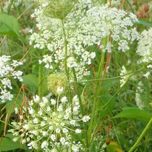 Queen Anne's Lace in variouse stages of development